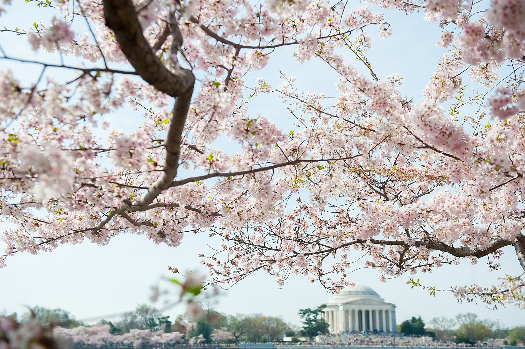 Cherry Blossom Festival in Washington, DC. Photos by destination wedding photographer, Mikkel Paige Photography.