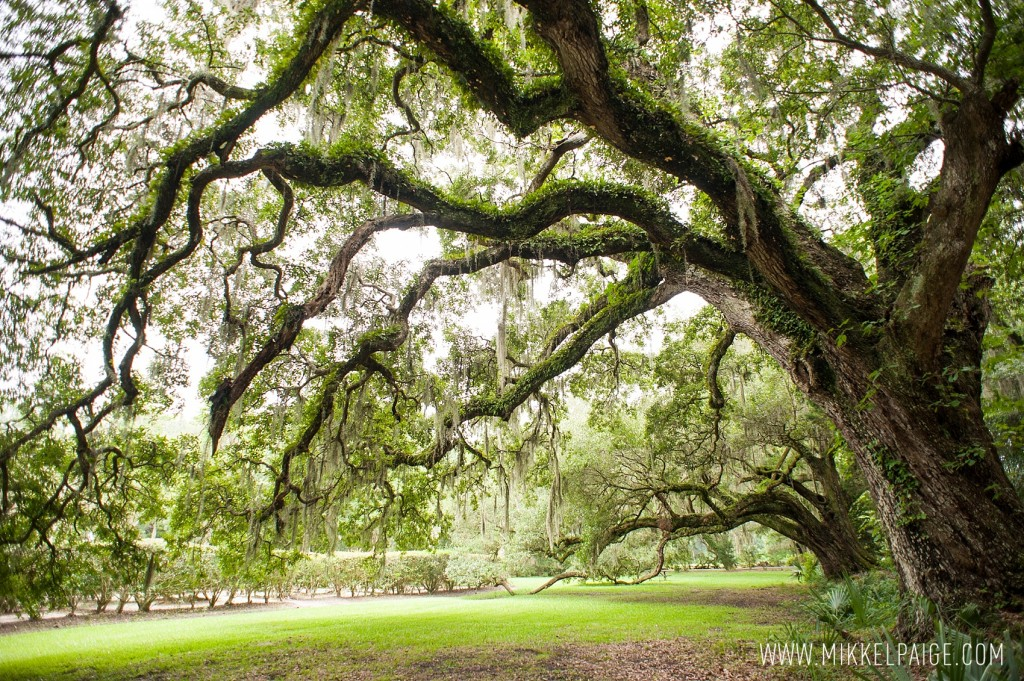Majestic oak trees covered in Spanish moss at Magnolia Plantation in Charleston, South Carolina. Images by Mikkel Paige Photography.