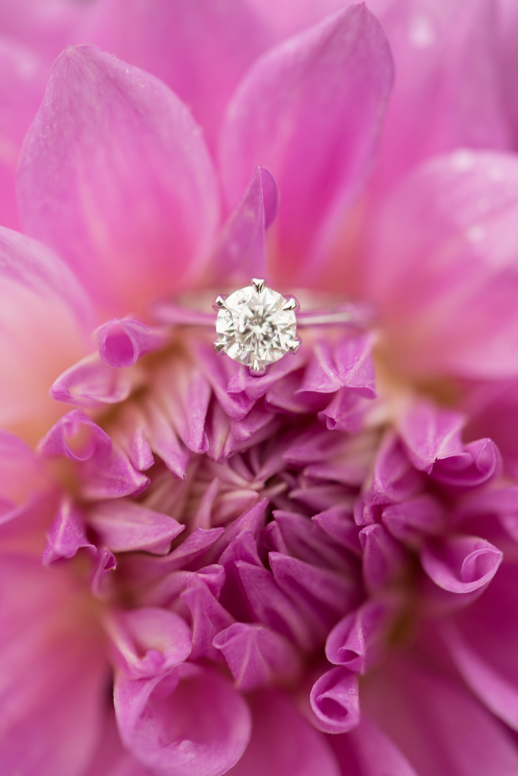 Solitaire round diamond engagement ring photo. Long Island Proposal ideas at Oyster Bay Planting Fields. Photos by Mikkel Paige Photography, Long Island wedding photographer.