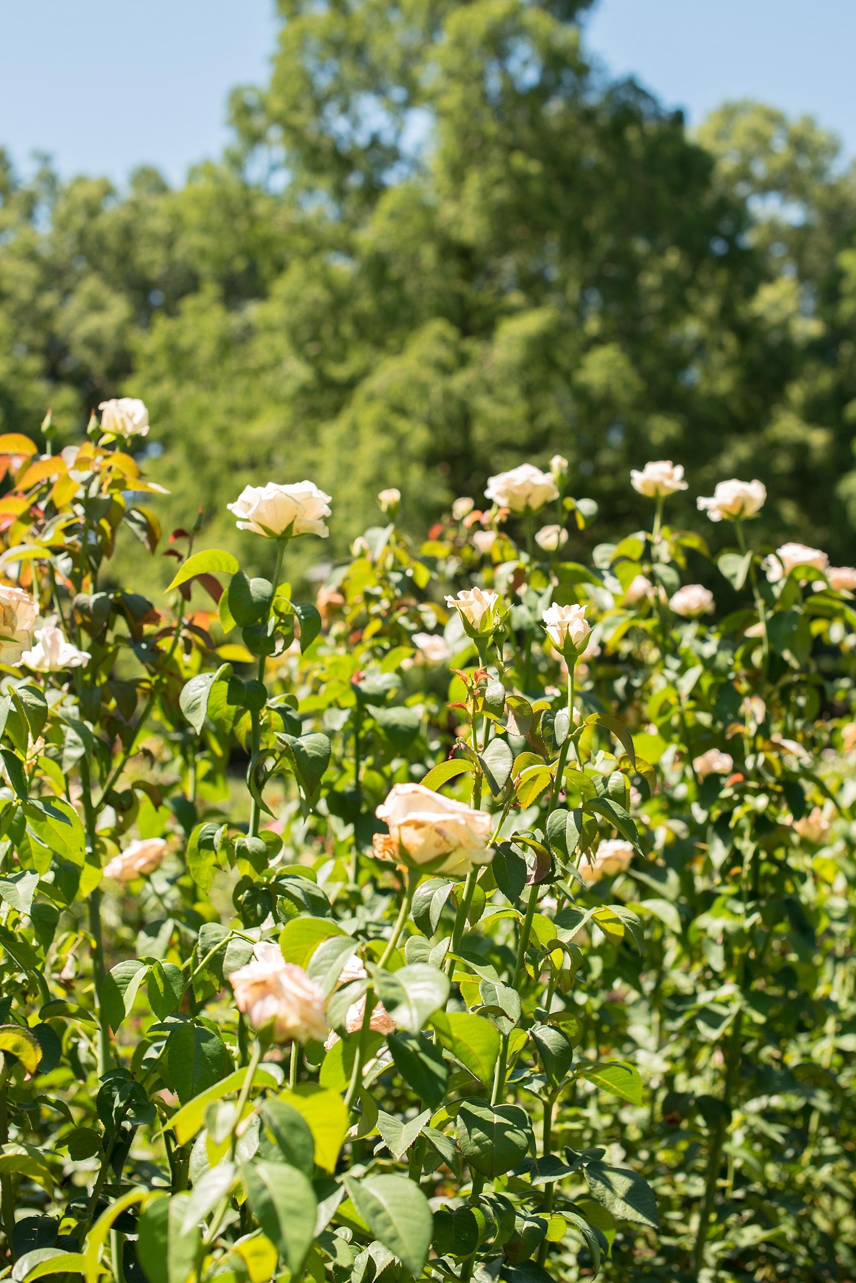 Roses In Garden: Raleigh Rose Garden Engagement Photos • Merrie + Ben